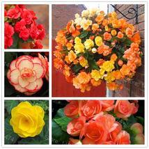 100PCS mixed color Begonia Flower Seeds Beautiful Garden Bonsai flower s... - $0.66