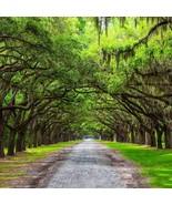 Southern Live Oak Tree   Quercus Virginiana   Live Plants   Shade Tree - $30.55 - $152.80