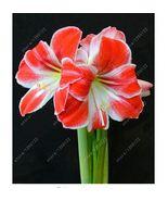 HAPPY FLOWER 2 Bulbs TLOGOMAS True Hippeastrum Rutilum Amaryllis Love Sy... - $1.78
