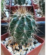 Carnegiea gigantea Icon of American Sonoran Desert Saguaro Cactus 57 - $10.84
