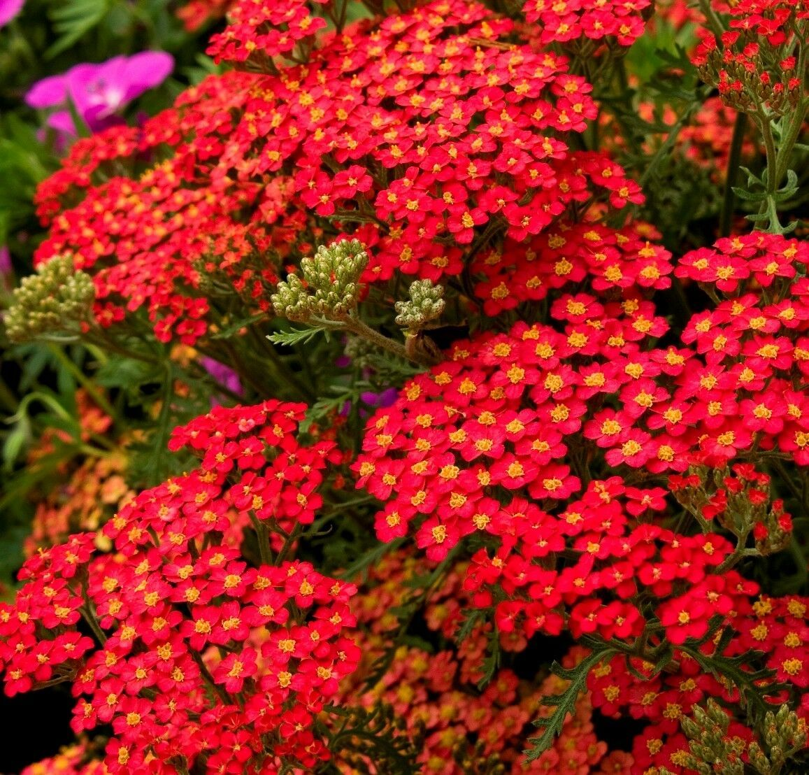 Primary image for SHIP From US, 2 oz 360K Seeds Red Yarrow Perennial Herb, DIY Herb Seeds ZJ01