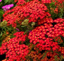 SHIP From US, 2 oz 360K Seeds Red Yarrow Perennial Herb, DIY Herb Seeds ... - $129.27