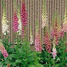 5000 MIXED FOXGLOVE,Digitalis Purpurea Flower Seeds,Purple/Cream/Pink/White - $8.79
