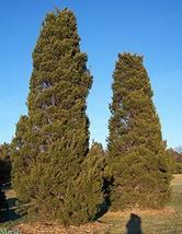 Hillspire Juniper - 3 Live Plants in 6 Inch Pots - Dense Evergreen Tree - $76.20