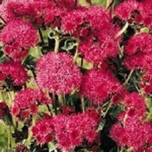 Ship From Us 50 Seeds Red Flint Ageratum,Diy Sb Flower Seeds - $27.99