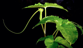 Green Dragon, 5 root/bulbs (Arisaema dracontium) image 1