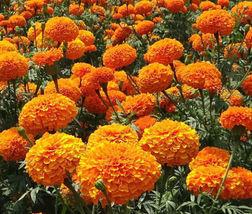 Elegant Flower Seeds Marigold Crackerjack Mix Colors 15.000 Bulk #IMA36 - $105.99
