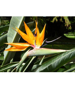 Bird of Paradise - Strelitzia Reginae - Live Plant - $39.90