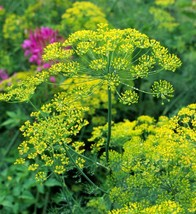 1oz Bouquet Dill Seeds Herb Combined Shipping - $6.29