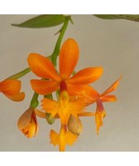 Epidendrum Lovely Valley Reed Type Orchid Plant Blooming Size radicans - $17.99