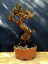 Bonsai Pistacia lentiscus - 25 years old plant- Mastic Tree,Evergreen Pistache - $360.00