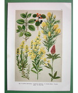 FIELD FLOWERS Buckthorn Red Clover Greenweed Medicinal - 1890s Color Lit... - $7.61