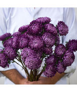 Tower Violet China Aster Seed /  Aster Flower Seeds - $12.00