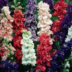 Primary image for Delphinium Giant Imperial Mix Seeds, 100+ Seeds, Beautiful Multi Colored Blooms.