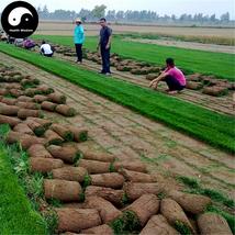 Buy Tall Fescue Grass Seeds 1000pcs Plant Evergreen Lawn Grass Festuca O... - $9.99
