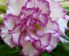 2pcs Very Admirable Adenium Corrugated White Petals Purple Edge Flower Seed IMA1 - $14.86
