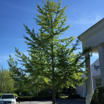 Ginkgo Tree maidenhair  qt. pot (Ginkgo biloba) image 2