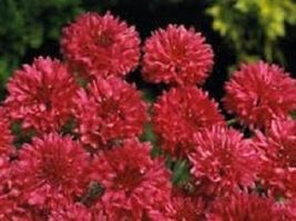 SHIP FROM US 35 Seeds Red Bachelor's Button Cornflower,DIY SB Flower Seeds - $27.99