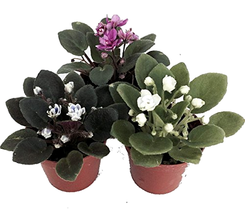3 Miniature African Violet Live Plants for Terrariums / Fairy Gardens in... - $27.76