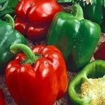 25 California Wonder Sweet Pepper Seeds 2019 ~ Non-Gmo ~ U.S.A. Seller! - $5.52