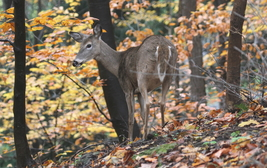 Whitetailed Deer 13 x 19 Unmatted Photograph - $35.00