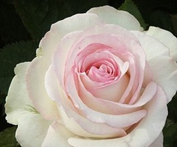 Moonstone' Hydrid White Pink Rose Bonsai Flowers, 50pcs/package Home and Garden - $5.90