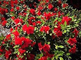 1 Starter Plant of Autumn Sunset Encore Azalea - 1 Gallon - $83.10