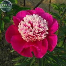 Peony Dark Red 2-layer Petals Pink Ball Flower Seeds - $7.88