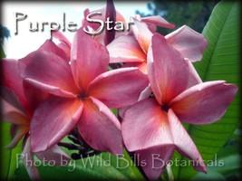 Rare Thai *Purple Star* aka Muang Daeng Plumeria Frangipani Cutting - $17.95