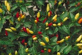 20 Seeds Tabasco Pepper Seeds, HOT CHILI PEPPER, NON-GMO - $7.99