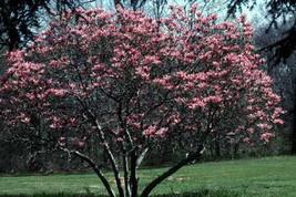 7 Tulip Magnolia Tree Seeds-1034 - $2.98
