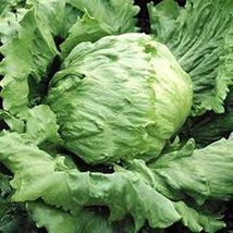 50 Seeds of Lettuce Great Lakes 659 Vegetable - $16.83
