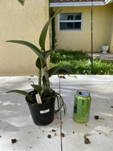 CATTLEYA  Blc. Prada Green Deluxe Orchid Plant Pot BLOOMING SIZE 0504 W image 2