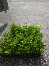 Live Plant  - Barbados, Acerola Cherry Tree Plant, Live Plant Outdoor Living - $50.99