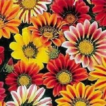 Kontiki Stars & Stripes Gazania Mix Flower 30 Seeds #SFB11 - $18.17