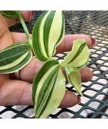 HS Garden - 50 seeds Zebrina Tradescantia Fluminensis Variegata Bonsai - $2.48