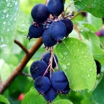 Saskatoon Serviceberry Bush 80 Seeds #UDS14 - $24.17