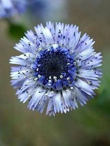 20 Organic Blue Globe Daisy Flower Seeds - $7.99