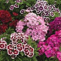 500 Fresh Seeds - Sweet William Mix Flower - $12.08