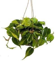 "Brazil Philodendron Live Plant Indoor Office 6""Hanging Basket Houseplant... - €21,62 EUR"
