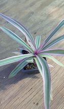"3"" Tri Color Rhoeo Pink Leaf Varigation Oyster Plant Bare Root - $15.98"