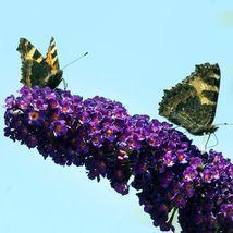 Buddleia Black Knight Butterfly Bush Quart Pot Live Plant  - $43.99