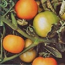Longkeeper Gold Heirloom Tomato 20 Seeds Moon Gardens Simply Grown Beautifully - $38.40