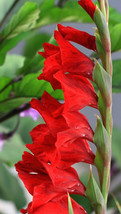 160 SEEDS - Red Gladiolus Seeds – Outdoor Living – Perennials - SBC - $21.95