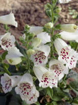 50 Pcs Seeds Foxglove White Purple Perennial Flower - DL - $12.00