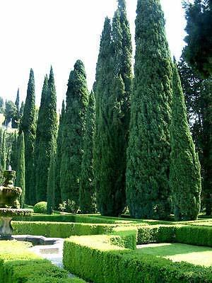 1 Packet of 100 Seeds Italian Cypress Tree, Cupressus Sempervirens, Mediterranea