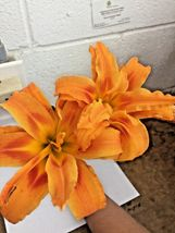 DOUBLE ORANGE BLOOM Daylily 10 fans/root systems image 4