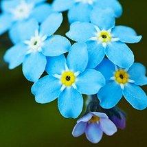 Non GMO Bulk Forget-Me-Not Flower Seeds Myosotis sylvatica (5 Lbs) - $594.00