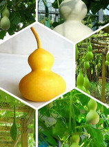 Garden United States gourd beans, vegetable seeds, pods flesh-10 particl... - $4.86