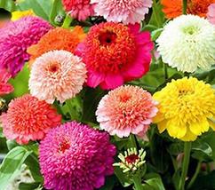50pcs Very Gorgeous Zinnia Scabiosa Flowered Mix Seeds IMA1 - $15.99